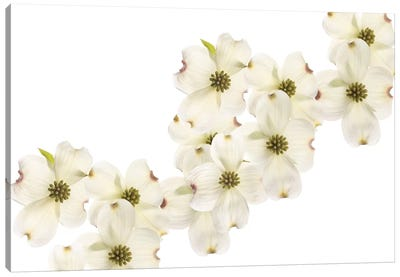 Dogwood Beauty Canvas Art Print