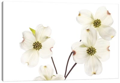 Dogwood Garland Canvas Art Print