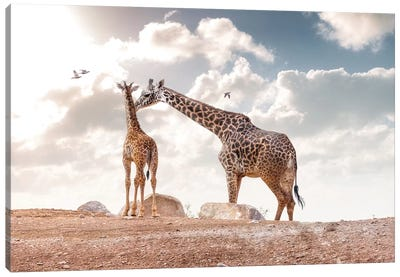 Mother Showing Affection To Baby Masai Giraffe Canvas Art Print