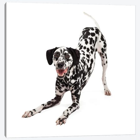 Playful Dalmatian Dog Bowing Canvas Print #SMZ119} by Susan Schmitz Canvas Artwork