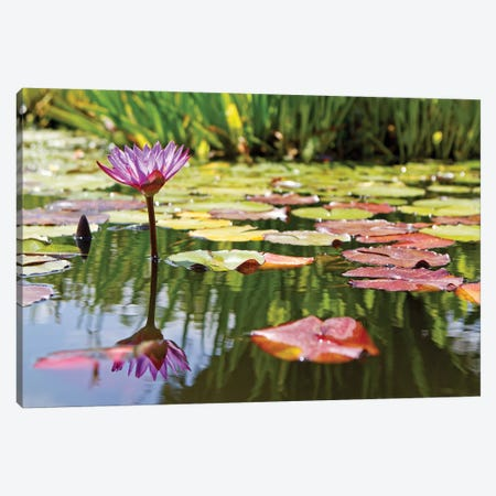 Purple Water Lily Canvas Print #SMZ123} by Susan Schmitz Canvas Print