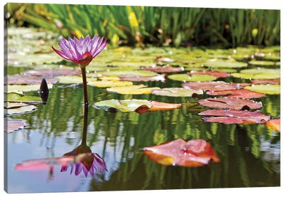 Purple Water Lily Canvas Art Print