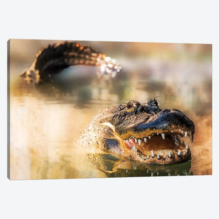 Alligator In Water With Teeth And Tail Showing Canvas Print #SMZ12} by Susan Schmitz Canvas Print