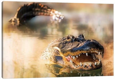 Alligator In Water With Teeth And Tail Showing Canvas Art Print