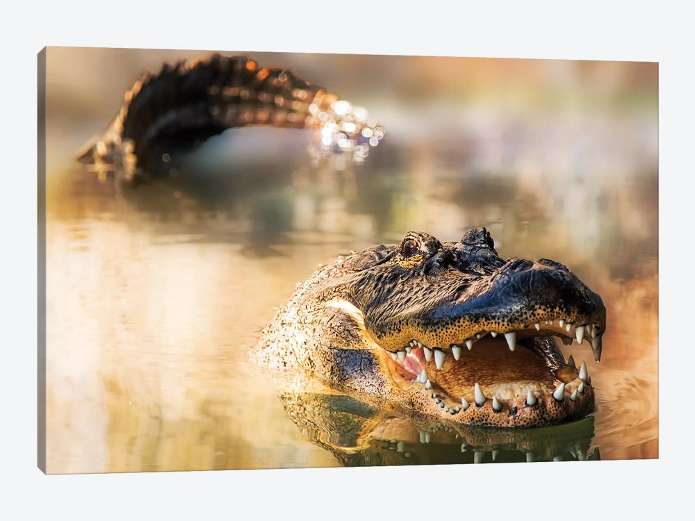 Alligator In Water With Teeth And Tail Showing by Susan Schmitz 1-piece Canvas Print