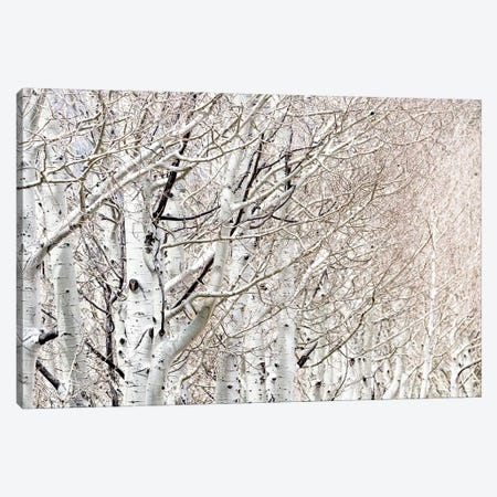 Row Of White Birch Trees Canvas Print #SMZ134} by Susan Schmitz Canvas Print