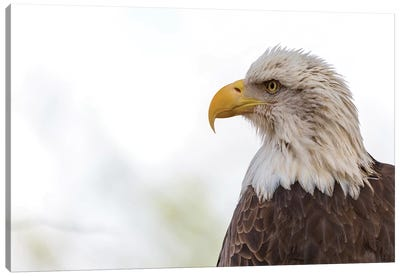 American Bald Eagle Closeup Copy Space II Canvas Art Print