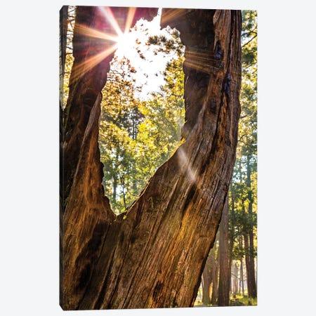 Sunburst Peeking Through Old Tree In Forest Canvas Print #SMZ153} by Susan Schmitz Canvas Art