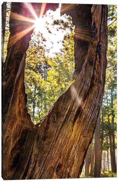 Sunburst Peeking Through Old Tree In Forest Canvas Art Print