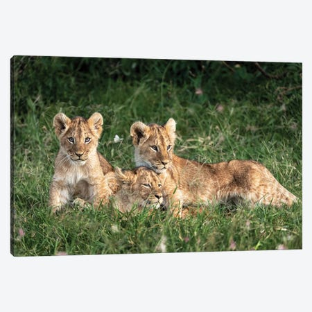 Three Cute Lion Cubs In Kenya Africa Grasslands Canvas Print #SMZ159} by Susan Schmitz Canvas Wall Art