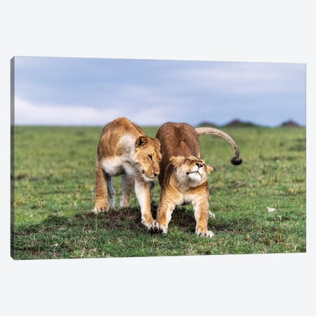 Two African Lioness Together Stretching Canvas Print #SMZ163} by Susan Schmitz Canvas Print