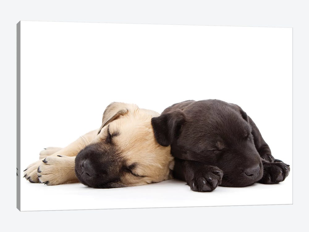 Two Puppies Sleeping Together by Susan Schmitz 1-piece Canvas Wall Art