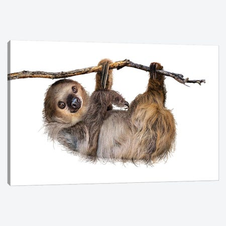 Two-Toed Sloth Hanging From Branch Isolated Canvas Print #SMZ167} by Susan Schmitz Canvas Wall Art