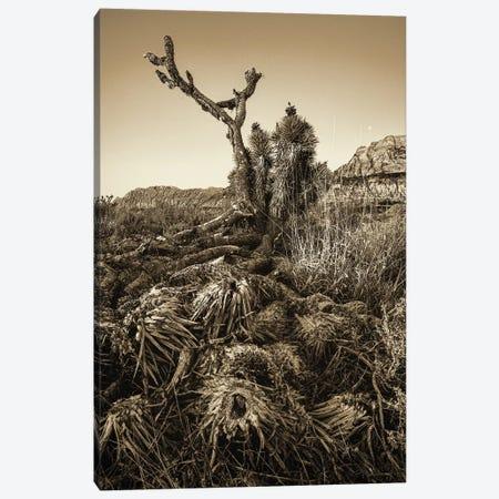 Vintage Old Joshua Tree Roots Canvas Print #SMZ172} by Susan Schmitz Canvas Wall Art