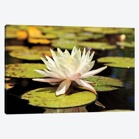 White Water Lily Canvas Print #SMZ176} by Susan Schmitz Canvas Print