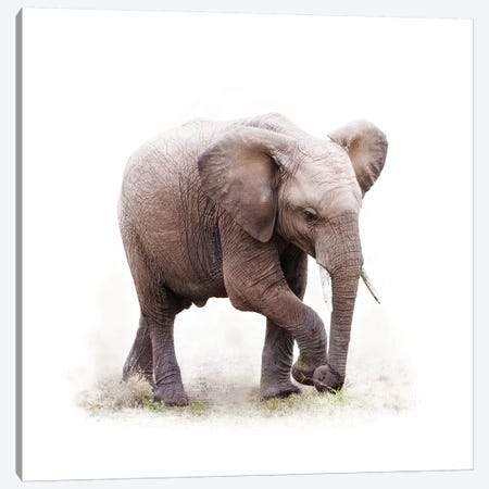 Baby African Elephant Isolated On White Canvas Print #SMZ18} by Susan Schmitz Canvas Print