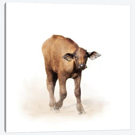 Baby Cape Buffalo Isolated On White Canvas Print #SMZ19} by Susan Schmitz Art Print