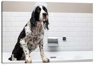 Adorable Springer Spaniel Dog In Tub II Canvas Art Print