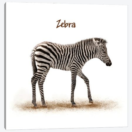 Cute Baby Zebra Walking On White Canvas Print #SMZ204} by Susan Schmitz Canvas Art Print