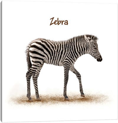 Cute Baby Zebra Walking On White Canvas Art Print