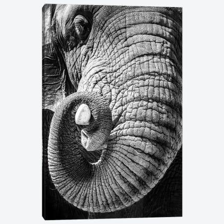 Elephant Curling Trunk Around Tusk - Black And White Canvas Print #SMZ207} by Susan Schmitz Canvas Print