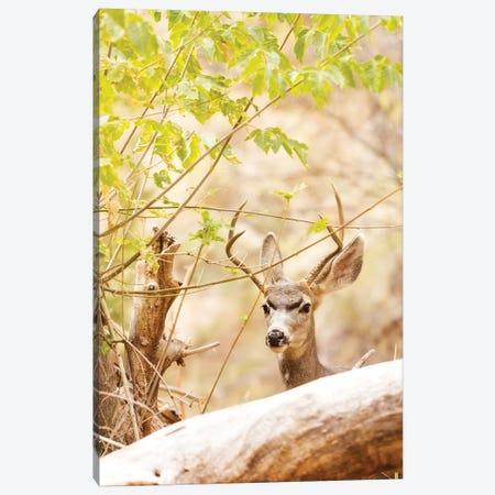 Beautiful Male Mule Deer In Woods Canvas Print #SMZ23} by Susan Schmitz Canvas Art
