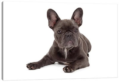 Blue French Bulldog Laying Canvas Art Print