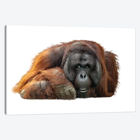 Bornean Orangutan Lying Down Extracted Canvas Print #SMZ28} by Susan Schmitz Canvas Art