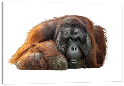 Bornean Orangutan Lying Down Extracted Canvas Art Print