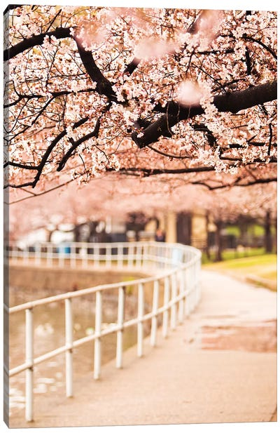 Canopy Of Cherry Blossoms Over A Walking Trail Canvas Art Print
