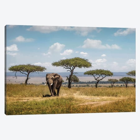 African Elephant Bull Walking Through Acacia Tree Field II Canvas Print #SMZ3} by Susan Schmitz Canvas Art