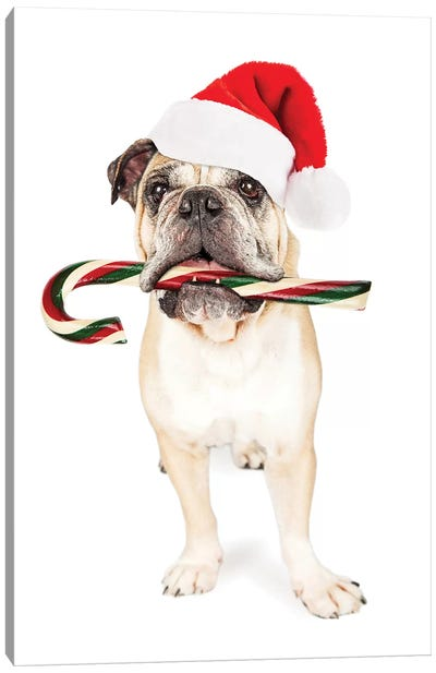 Christmas Bulldog Eating Candy Cane Canvas Art Print