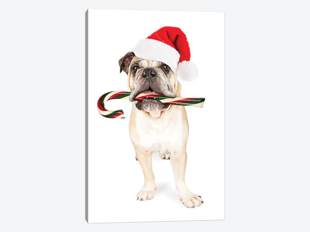 Christmas Bulldog Eating Candy Cane by Susan Schmitz 1-piece Canvas Wall Art