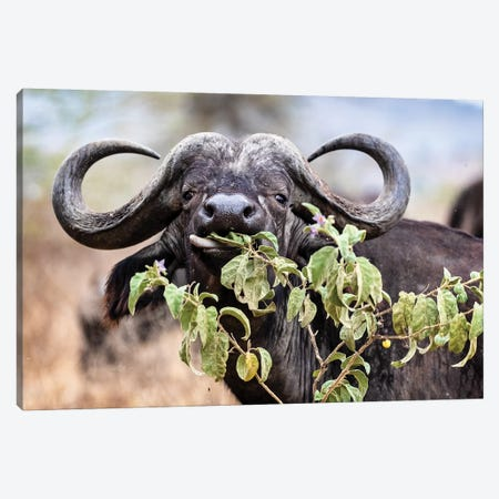 Closeup Cape Buffalo Eating Flower Canvas Print #SMZ42} by Susan Schmitz Canvas Art
