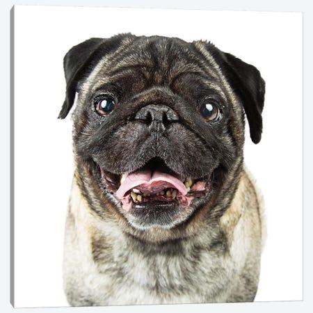 Closeup Happy Purebred Pug Dog Canvas Print #SMZ43} by Susan Schmitz Canvas Wall Art
