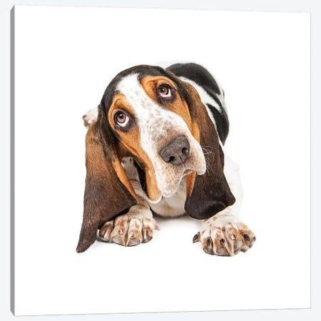 Cute Basset Puppy Tilting Heard Canvas Print #SMZ57} by Susan Schmitz Canvas Art