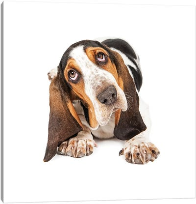 Cute Basset Puppy Tilting Heard Canvas Art Print