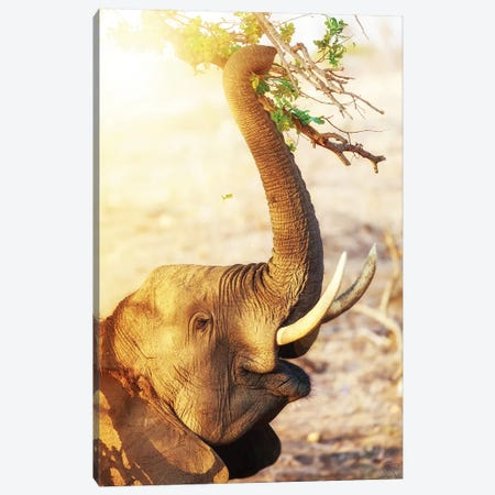 Elephant Eating At Sunrise Canvas Print #SMZ67} by Susan Schmitz Canvas Art Print