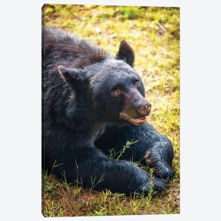 Friendly Brown Bear Lying In Grass Canvas Print #SMZ71} by Susan Schmitz Art Print