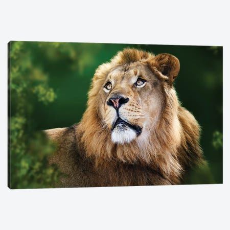 African Lion Framed By Tree Branches Canvas Print #SMZ7} by Susan Schmitz Canvas Art Print