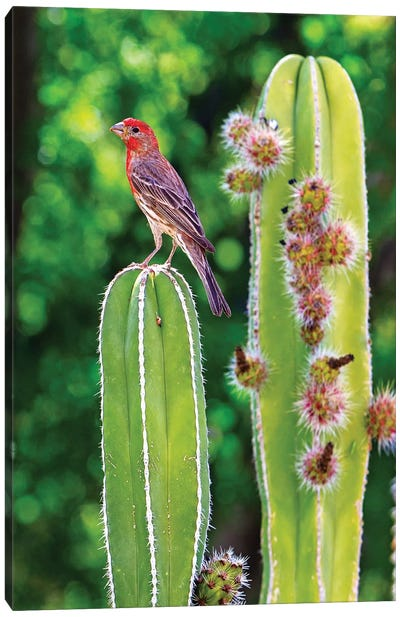 House Finch On Blooming Cactus Canvas Art Print