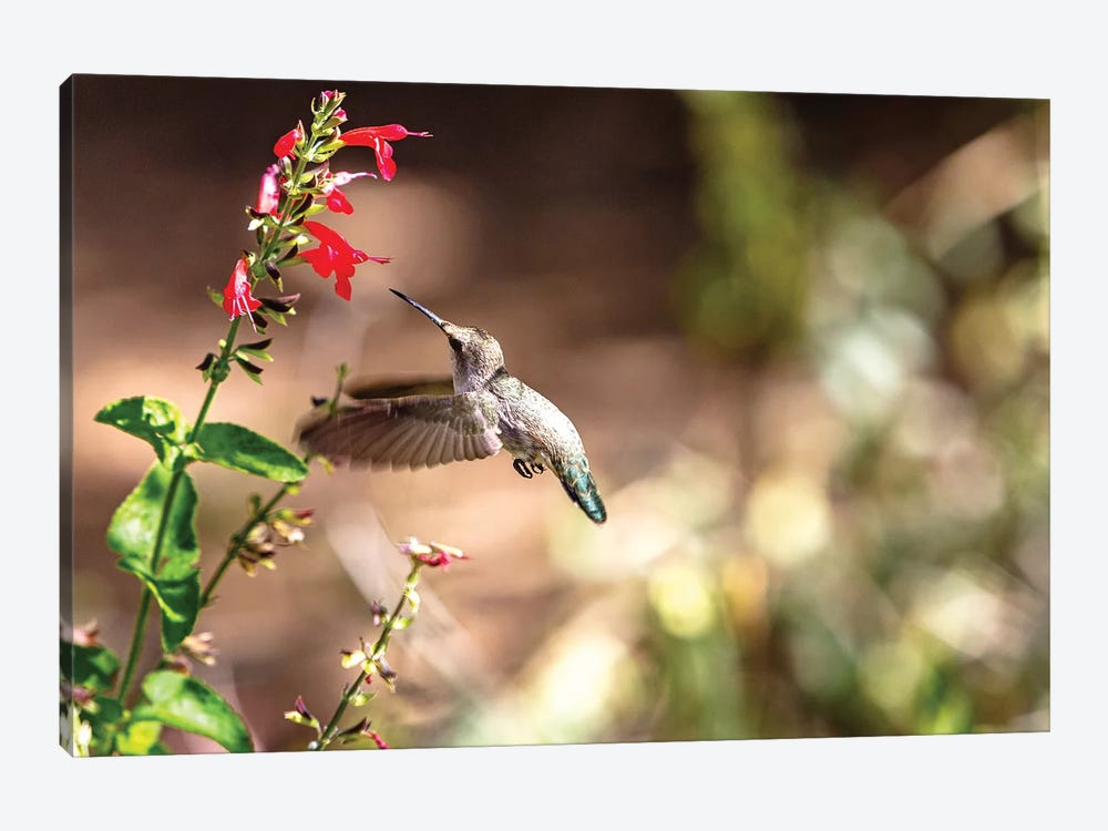 Hummingbird In-Flight With Red Wildflower by Susan Schmitz 1-piece Art Print
