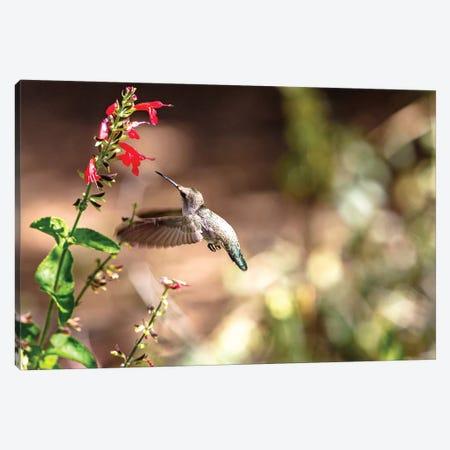 Hummingbird In-Flight With Red Wildflower Canvas Print #SMZ87} by Susan Schmitz Canvas Art Print