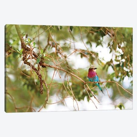 Lilc Breasted Roller Bird In Tree Canvas Print #SMZ89} by Susan Schmitz Canvas Art