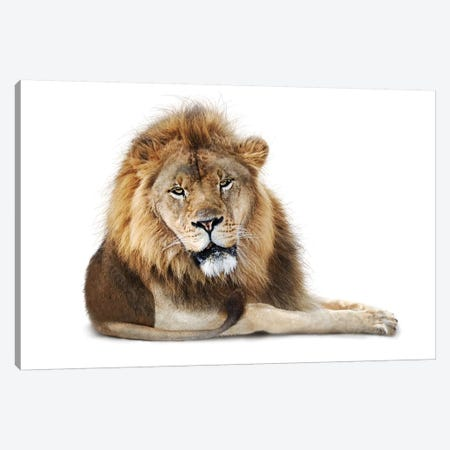 African Male Lion Lying Down Isolated Canvas Print #SMZ8} by Susan Schmitz Canvas Artwork