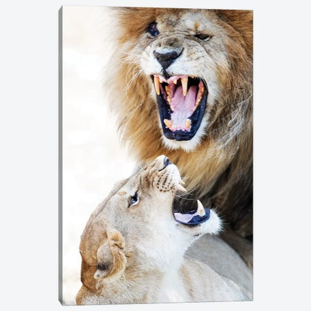 Lion And Lioness Snarling At Each Other Canvas Print #SMZ90} by Susan Schmitz Canvas Art Print