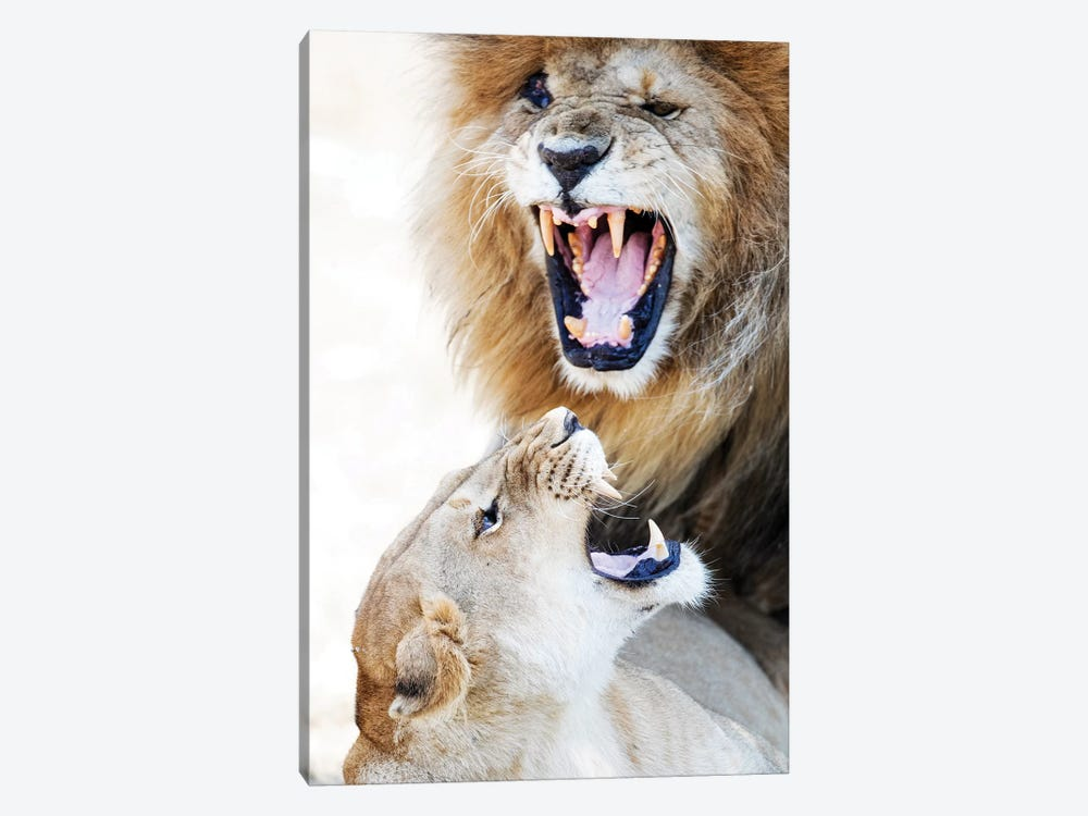Lion And Lioness Snarling At Each Other by Susan Schmitz 1-piece Art Print