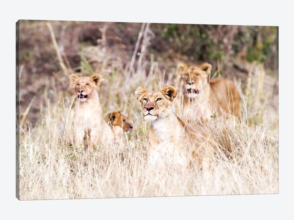 Lion Pride Lying In Tall Grass by Susan Schmitz 1-piece Canvas Art