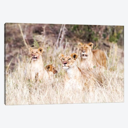 Lion Pride Lying In Tall Grass Canvas Print #SMZ91} by Susan Schmitz Canvas Print