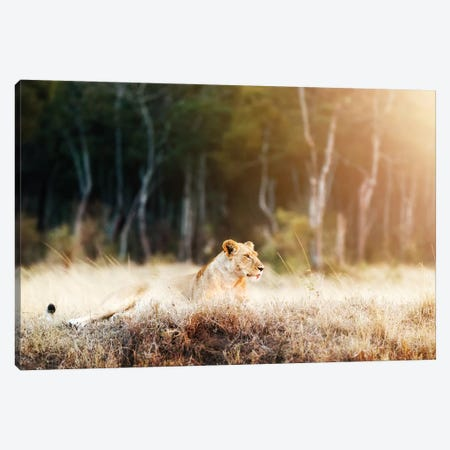 Lioness In Morning Sunlight After Breakfast~3 Canvas Print #SMZ92} by Susan Schmitz Art Print